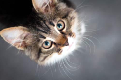vaccination de chat