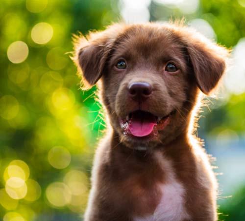 vaccination de chien